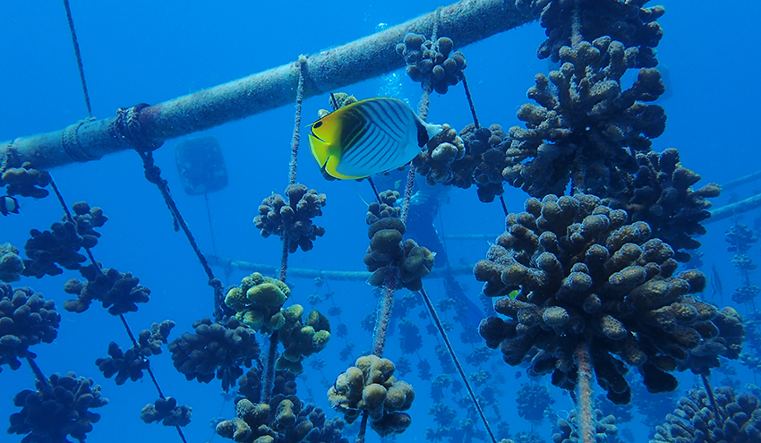 Coral fragments on rope nursery Nature Seychelles Chloe Shute
