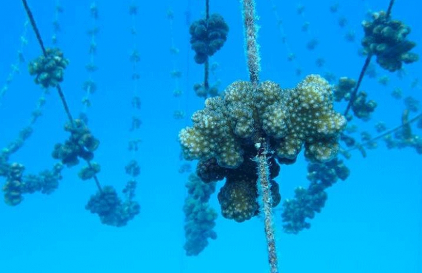 From coral fragments to full-grown coral colonies
