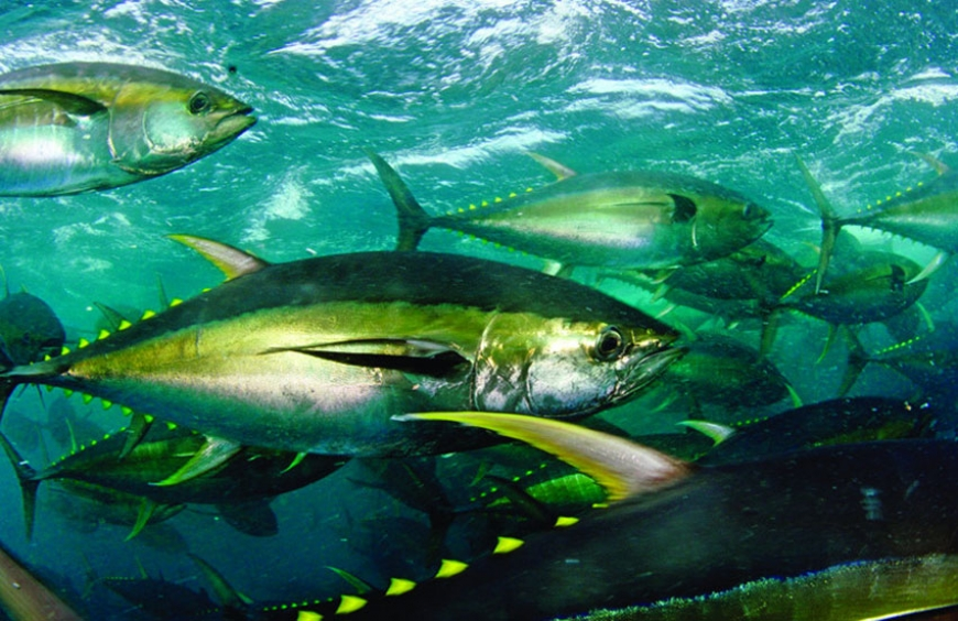 France-based Petit Navire announces reduction of Indian Ocean yellowfin tuna