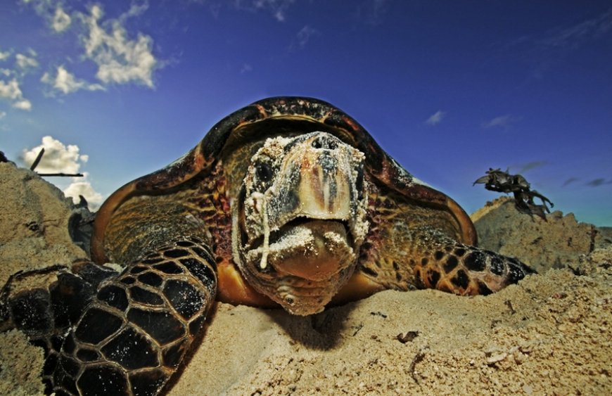 Hawksbill turtle laying her eggs on Cousin Island, Seychelles. photo by Martin Harvey