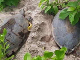 Turtles here, turtles there, turtles everywhere
