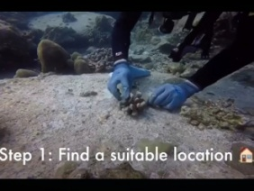 Video: How to transplant corals onto a degraded reef using coral gardening